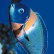 saddle wrasse, coral reef dweller