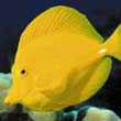 Yellow tang swimmimg